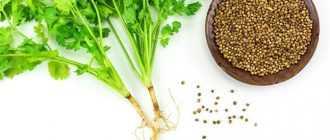 Кинза сушеная: применение в кулинарии и оздоровлении организма