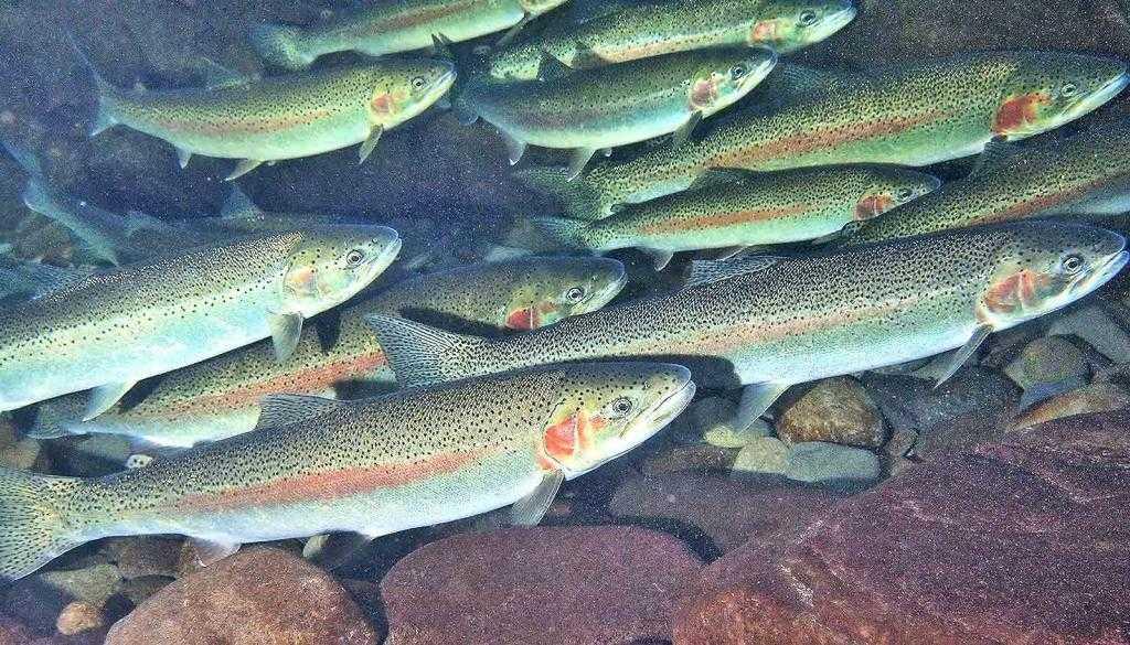 Картинки с лососевыми рыбами