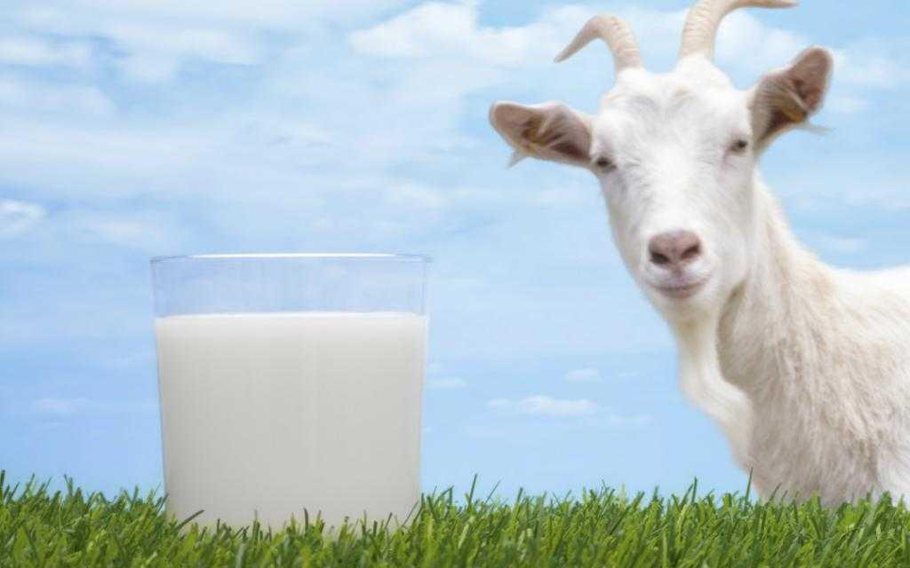 Чем отличается козье молоко от коровьего, какова их польза