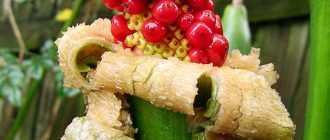 Овощ таро: ботаническое описание, характеристики, полезные свойства