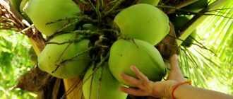 Молодой кокос: состав, свойства и применение в кулинарных целях