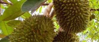 Экзотический фрукт дуриан: отзывы, описание, запах и вкус
