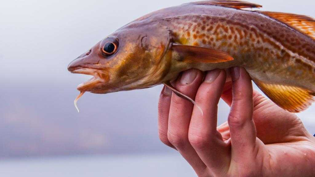 Рыба треска: польза и вред, калорийность, состав витаминов и микроэлементов, пищевая ценность и химический состав. Как вкусно приготовить треску