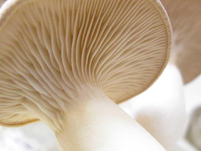 Устричный гриб: фото и как его готовить