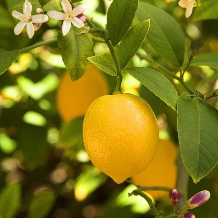 Как выбрать лимон в магазине: полезные советы