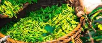 Листья чая: как выбрать и приготовить, польза
